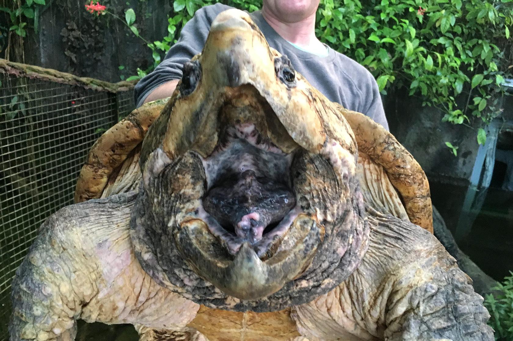 snapskildpadde